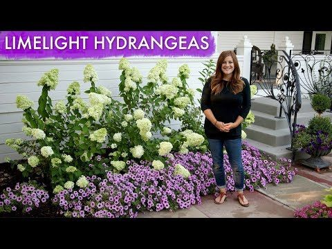 Limelight Hydrangeas 1 Year Update Garden Answer Youtube Limelight Hydrangea Hydrangea Garden Hydrangea Flower Bed