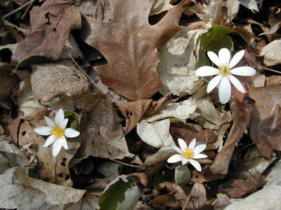 It would be nice to see this familiar sign of spring.   Bloodroot (Sanquinaria Canadensis)   March-May,  Rich Woods,  lobed leaf, 8-10 petal flower, 6-12""