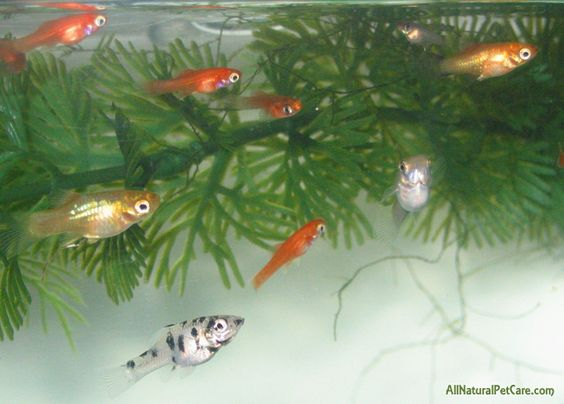The o 39 jays babies and the babys on pinterest Livebearer aquarium fish