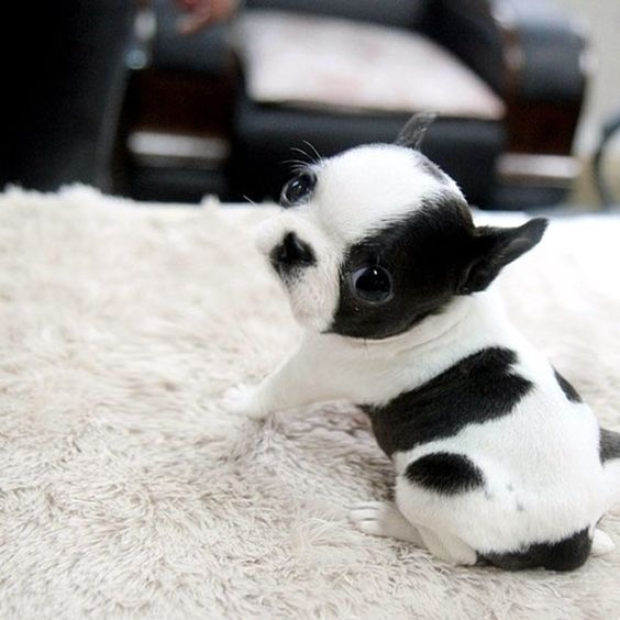 """This teacup French Bulldog puppy demonstrates the basic pose. Posted by <a href=""""http://cute-baby-animals.tumblr.com/post/79557795838"""">cute-baby-animals</a> on Tumblr."""