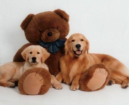 Teddy Bear Goldens