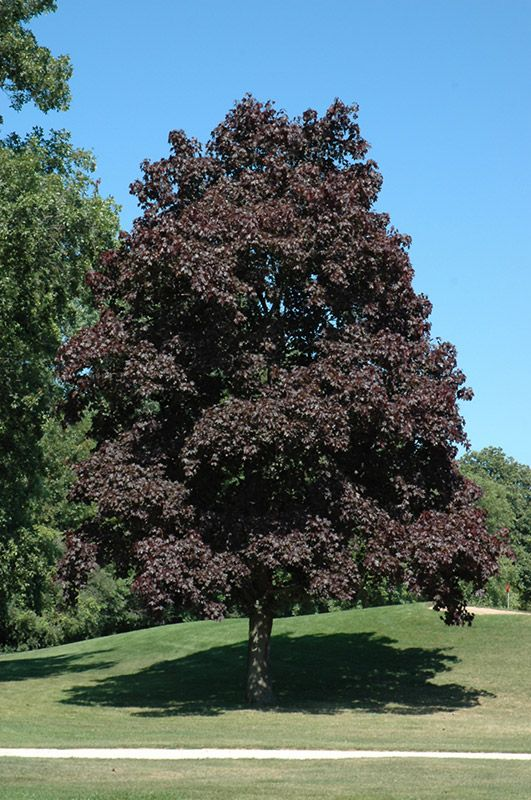 Crimson king norway maple acer platanoides crimson king - Arce platanoide ...