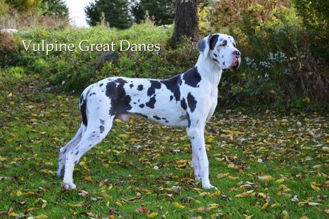 Vulpine Great Danes Our Boys Great Dane Great Dane Funny
