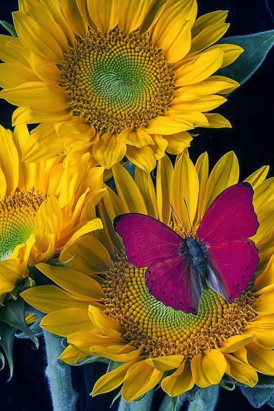 Gosto das borboletas recordação da infância, amo a flor girassol.: