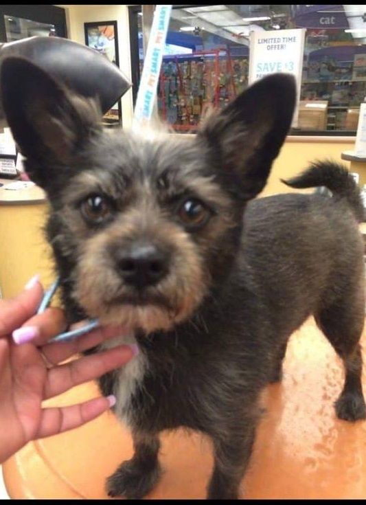Adopt Rocky On Cairn Terrier Puppies Paws Rescue Cairn Terrier Mix