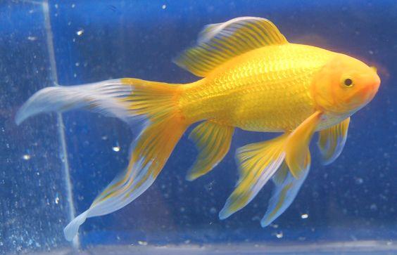 Goldfish yellow comet goldfish for the pond for Yellow koi fish