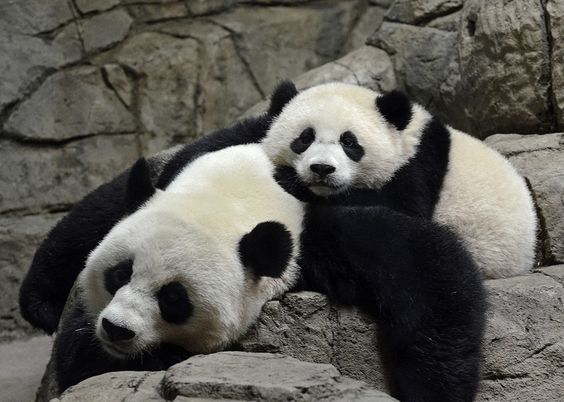 Bao Bao & Mei Xiang, 08/17/14 - Mother & Daughter | Flickr - Photo Sharing!