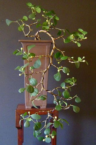 "Mistletoe Fig Tree - (inedible figs) Mas Cotek - Ficus - Bonsai or House Plant-6"" Pot:"