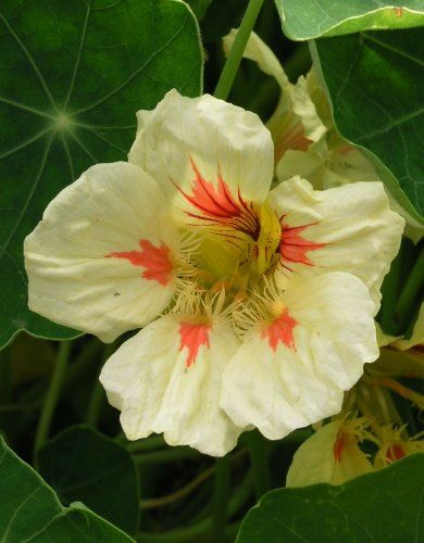 "(ANAS)~""STRAWBERRIES & CREAM"" NASTURTIUM~Seeds!!~~~~Good Enough to Eat! ~MY SEEDY NEEDS~,http://www.amazon.com/dp/B00ALE8HPA/ref=cm_sw_r_pi_dp_Tlvatb11KZY7VS3R"