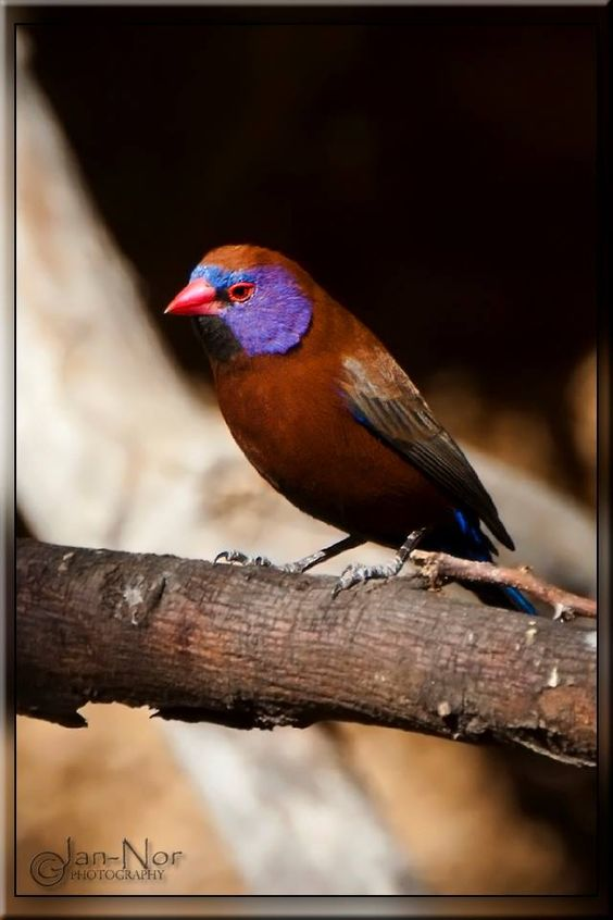 Purple-cheeked Waxbill