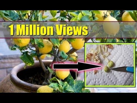My Garden Channel Youtube Lemon Tree From Seed How To Grow Lemon Growing Lemon Trees