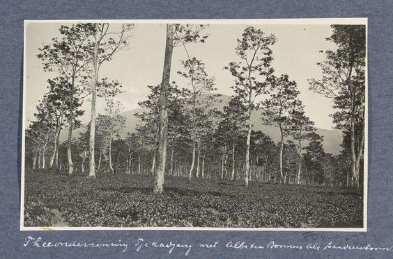 Anonymous   Velden met schaduwbomen van thee-onderneming Tjikadjang bij Garvet in Preanger, Anonymous, c. 1900 - c. 1920   Onderdeel van Reisalbum met foto's van bedrijvigheid en bezienswaardigheden op Sumatra en Java en van de reis naar en van Nederlands-Indië.
