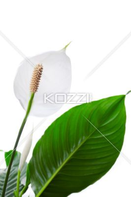 close-up of peace lily flower. - Close-up view of peace lily flower.