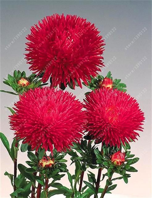 Aster Chrysanthemumflower seeds 200pcs
