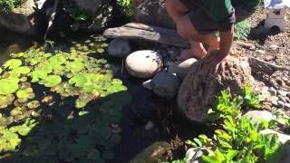 How do I transplant an aquatic plant?
