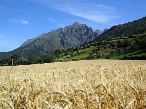 Champ de blé au pied des massifs du Champsaur, dans les Hautes-Alpes, en Provence-Alpes-Côte-d'Azur.: