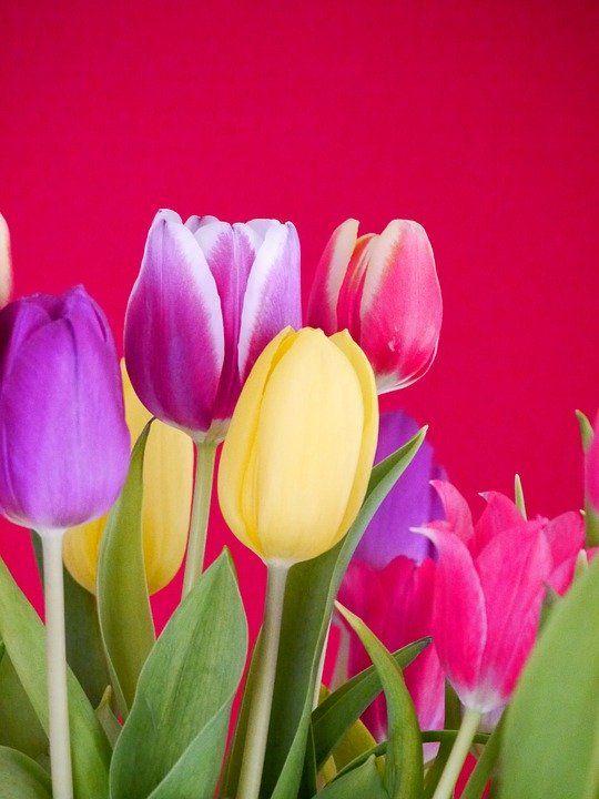 Gambar Bunga Tulip Warna Biru Gambar Bunga Hd Tulipanes