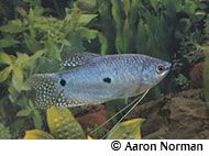 Blue Gourami , aka Three-Spot Gourami (freshwater, Southeast Asia) --I really enjoy gouramis, though these are not my favorites. Normally silvery blue in color, their colors darken or lighten with their moods. These grow to be 6 inches and are pretty hardy.