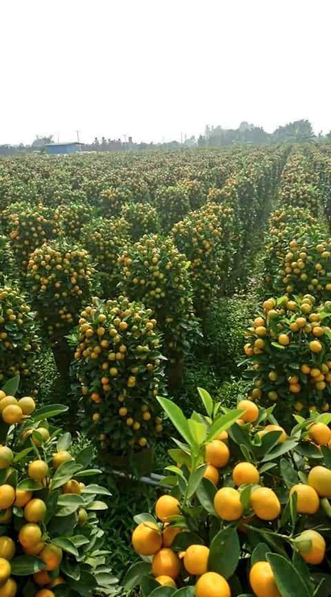 Algeria خيرات بلادي البرتقال بالمحمدية ولاية معسكر Fruit Garden Fruit Plants Plants
