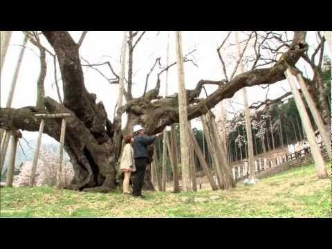 淡墨桜 [いいね!JAPAN ソーシャルアワード] - YouTube