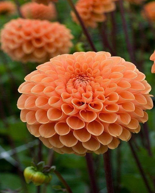 Sylvia Dahlia Is A Lovely Warm Orange Ball Dahlia With The Curvaceous Petals Curving To Give The Spherical Shape Beautiful Flowers Orange Plant Dalia Flower