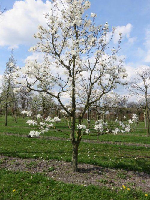 Magnolia Loebneri Merrill I 2020 Magnolia Buskar Tradgard