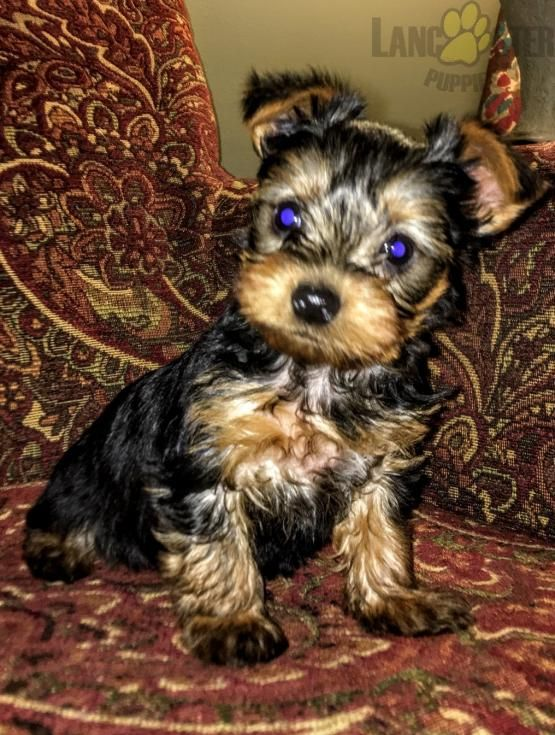 Archer Yorkshire Terrier Puppy For Sale In Milton Pa