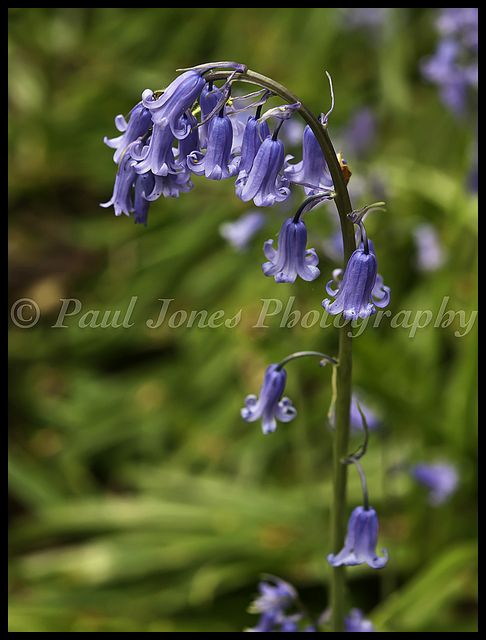 Renishaw Bluebell