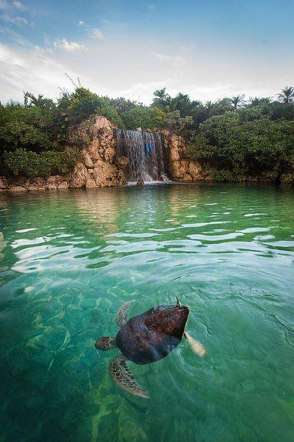 Mr Sea turtle on Miyako island, Okinawa, Japan