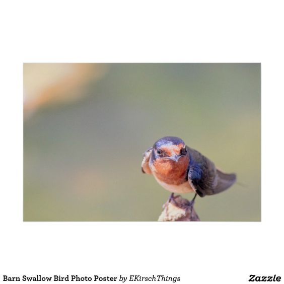 Barn Swallow Bird Photo Poster