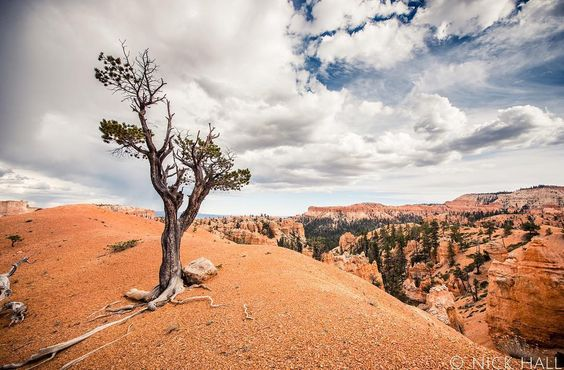 """I love the raw determination of this tree,"" photographer Nick Hall says about this image taken along the Queen's Garden Trail at Bryce Canyon National Park in Utah—a tree that could serve as a symbol for nature's resilience and adaptation amidst harsh environments. Read more about our national parks in the current issue of Nature Conservancy magazine bit.ly/WorldsofWonder—photo by Nick Hall @nickhallphoto.  @goparks @nationalparkservice @usinterior #brycecanyon #nationalpark #utah…"