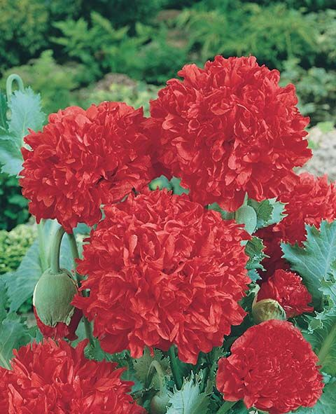 top qualité Graines-couleurs fabuleuses dans votre jardin! Pétunia Fleurs MIX ~ 50
