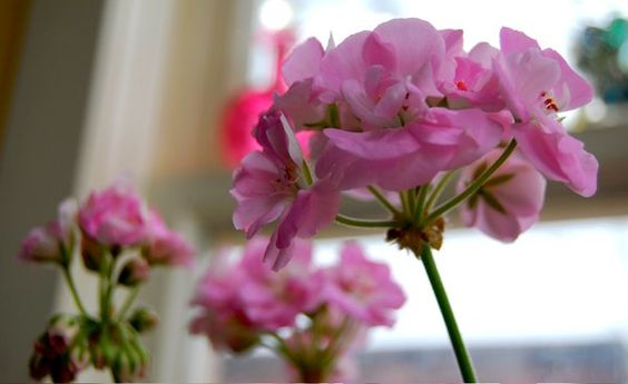 Toronto Gardens: Bringing Geraniums out of the Dead Land: Overwintering Annuals