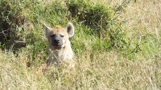Hyena-nothing like sun on your face.