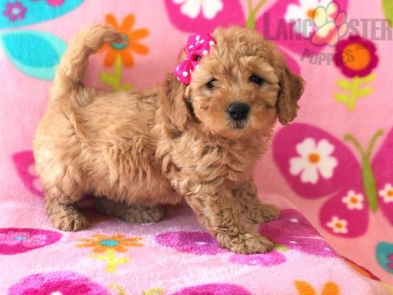 Izzy F1b Mini Goldendoodle Puppy For Sale In Peach Bottom Pa