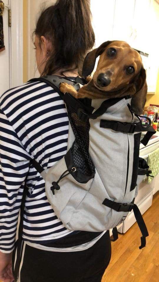 Backpack Dachshunds Weenie Dogs Sausage Dog Dachshund Love