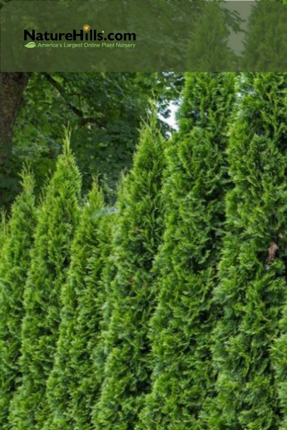 Emerald Green Arborvitae In 2020 Emerald Green Arborvitae Arborvitae Arborvitae Tree