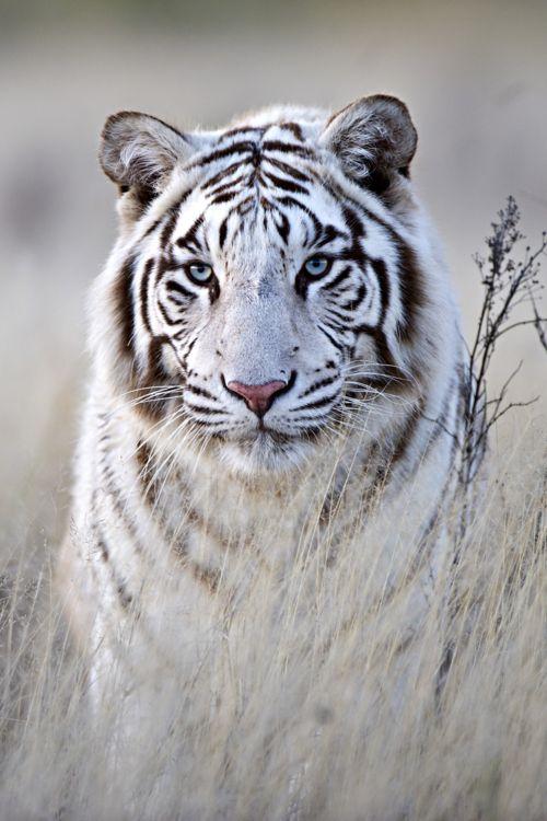 Common Name: Bengal Amur aka White or White Siberian Tiger // Scientific Name: Panthera tigris (subspecies P. tigris altaica)