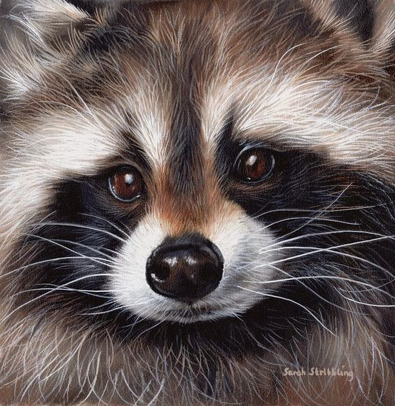 Raccoons, How to draw and To draw on Pinterest