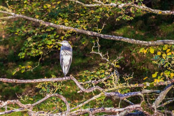 Heron perched in a tree by Marc Lucas on 500px