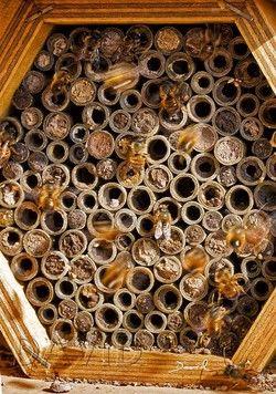 Praxistaugliche Nisthilfe aus Pappröhrchen mit regem Andrang von Männchen der Rostroten Mauerbiene (Osmia bicornis) im Frühjahr kurz nach dem Schlupf. ( insect hotel, insect nesting aid) pollinator bug house
