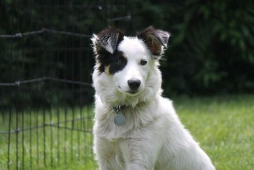 Bordercollie Colliepoint Dog Breeds Border Collie Dog Collie Dog