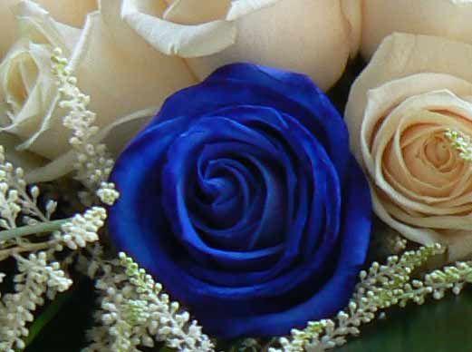 Miti e leggende: la rosa, la rossa, la blu e la gialla