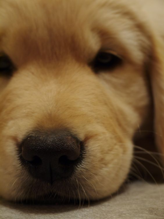 Golden Retriever puppy by Chris Barry