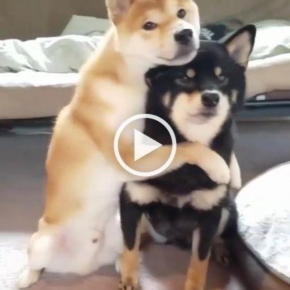 Casal de cachorro pousando para foto