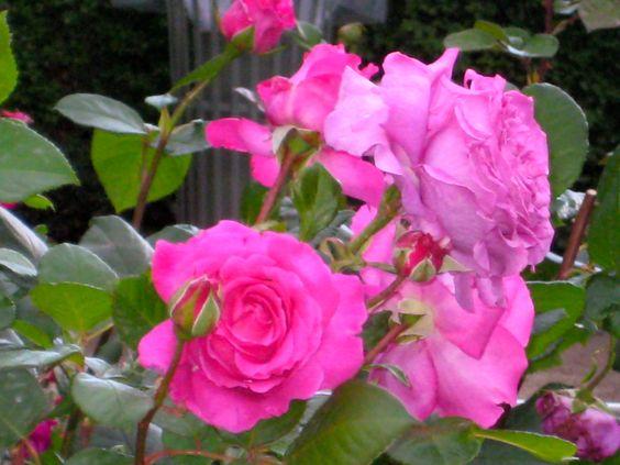 Paris roses! Photographed at the Jardin du Palais Royal in June 2009.