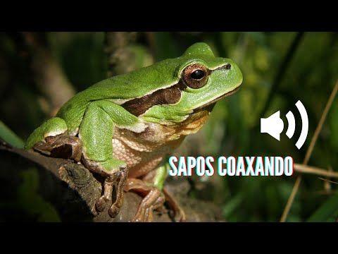 Sapos Coaxando Som Do Sapo Coaxando Croaking Frogs Sound Of The Croaking Frog Youtube Land Scape