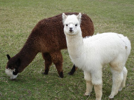 Alpacas - silky soft and cute