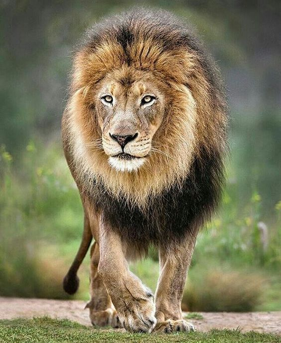 👑 King 👑   Photo by @sandiegozoo  #WildlifeFriend