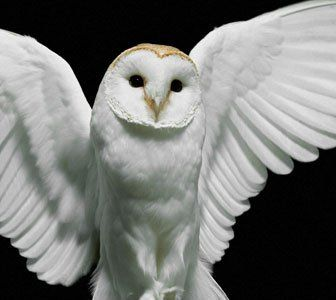 Image Gallery white owl